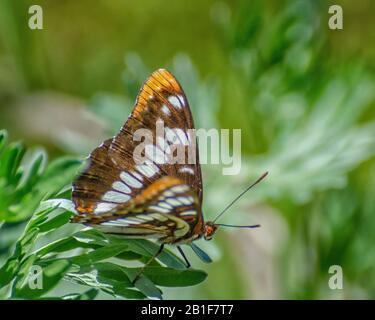 Una mariposa almirante de Lorquin (Limenitis lorquini) se alzan en un arbusto cerca del lago Bennington en Walla Walla, WA.