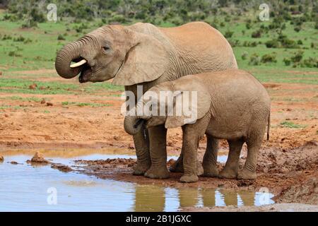 Elefante africano (Loxodonta africana), dos elefantes beben en un pozo de agua, Sudáfrica, Lowveld, Parque Nacional Krieger