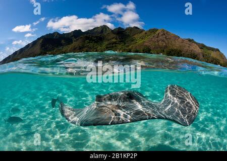 Esnórquel con Whipray Rosa en Laguna, Pateobatis fai, Moorea, Polinesia Francesa