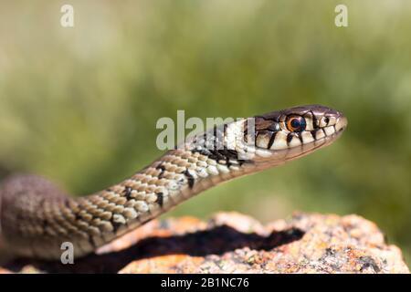 Una serpiente de hierba juvenil (Natrix natrix), también conocida como serpiente de agua, con el collar característico. Este ejemplar fue fotografiado en Oporto, Portugal.
