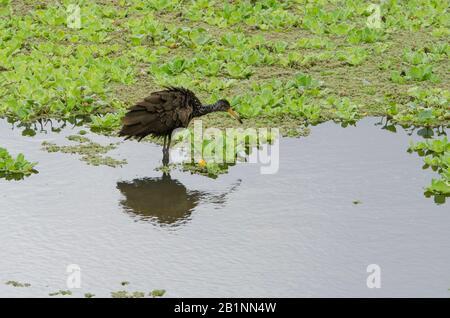 Limpkin, aramus guarauna, también conocido como carrao, courlan o pájaro llorante; en una laguna con abundantes plantas acuáticas. Reserva Ecológica Costanera Sur, Bu