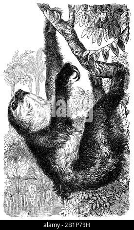 El perezoso de dos dedos de Linneo (Choloepus didactylus), el perezoso de dos dedos del sur, unau, o el perezoso de dos dedos de Linne, Choloepus didactylus, anónimo (libro de biología, 1889)
