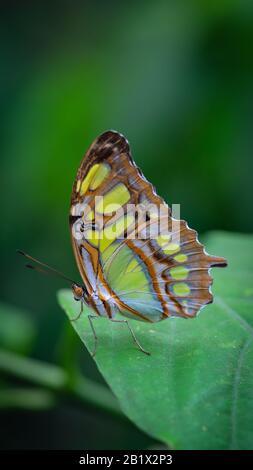 La malaquita (Siproeta stelenes) es una mariposa neotropical con patas de pincel (familia Nymphalidae). Una de las especies de mariposas más familiares en su área de distribución