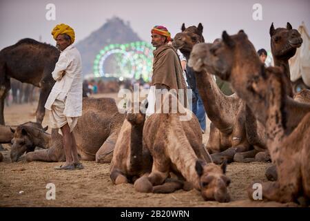 Los camellos delante de la rueda de la fortuna, el recinto ferial en la feria de ganado y camellos Pushkar Mela, Pushkar, Rajastán, India