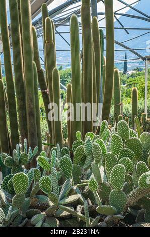 Varios cactus en un invernadero invernadero. Suculentas en invernadero desierto plantado en un jardín botánico