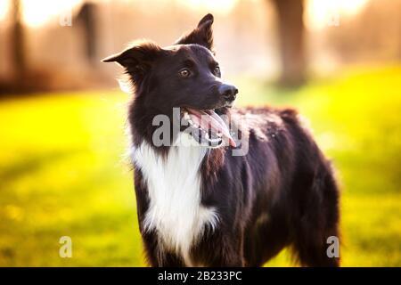 Precioso retrato de perro posando al aire libre con una emoción divertida, los ojos cerrados y un emoticono. La collie de borde de alegría le deleitará la fría mañana de invierno en el