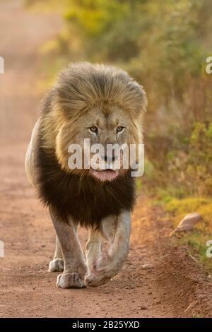 León macho, Panthera leo, Gondwana Game Reserve, Sudáfrica Foto de stock
