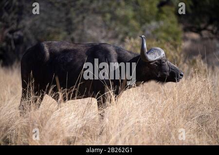 Buffalo, Syncerus Caffer Caffer, Mabula Game Reserve, Sudáfrica Foto de stock