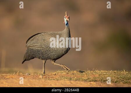 Guineafowl, Numida Meleagris, Welgevonden Game Reserve, Sudáfrica Foto de stock