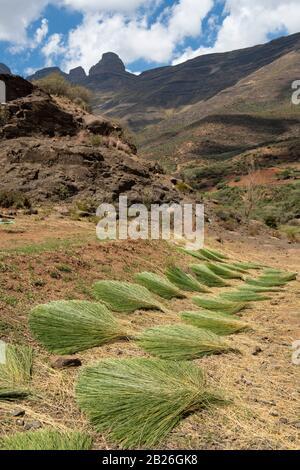 Paja en venta para la fabricación de sombreros basotho, Mafika Lisiu Pass, Lesotho Foto de stock