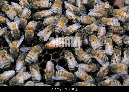 Abejas en el marco de la cría que tienden a los huevos y a la larva