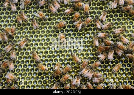 Abejas obreras sobre un marco completo de néctar