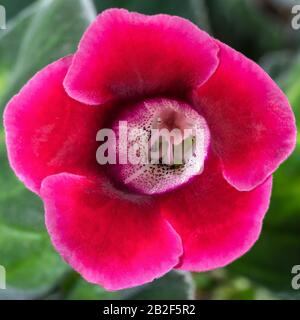 Flor Gloxinia crimson color - género de plantas de la familia Gesneriaceae. Fotografía macro, efecto visual impresionante - combinación o