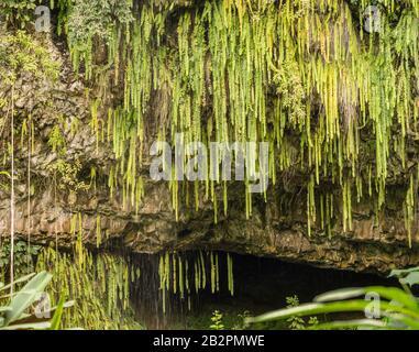 Detalle de los helechos y otras plantas colgando de las rocas en Fern Grotto en el río Wailua en Kauai
