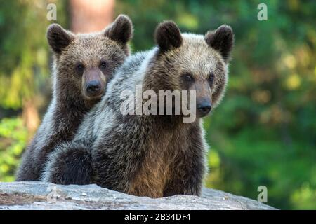 Oso marrón europeo (Ursus arctos arctos), dos cachorros de oso tocando, Finlandia, Karelia, Suomussalmi