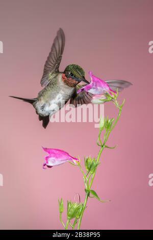 Un Néctar de recolección de colibrí de garganta rubí