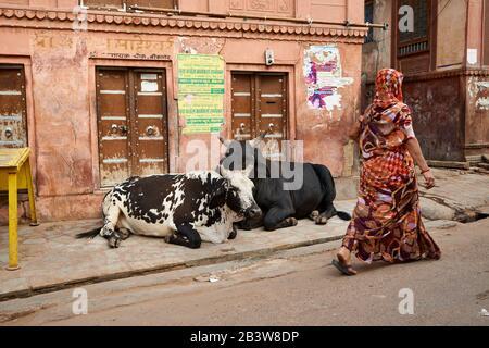 Las vacas sagradas se encuentran en la calle de Bikaner, Rajasthan, India