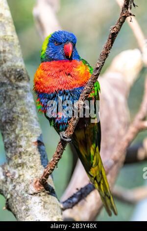 Lorikeet de coco, pájaro colorido encaramado en una rama