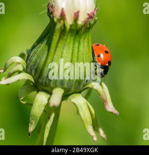 ladybug en el lado de diente de león cerrado, salvaje Foto de stock