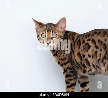 primer plano retrato de un joven gato de bengala frente a la pared blanca mirando la cámara