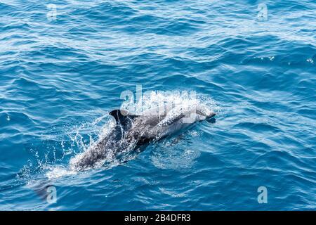 Taranto, Salento, Apulia, Italia, Europa. Delfín blanco-azul en el mar Jónico de Puglia