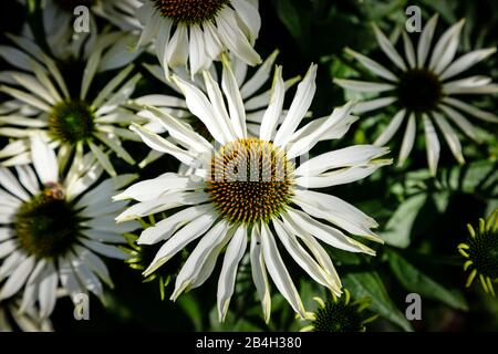 Equinácea, flor de la conebora, primer plano de flores en el jardín