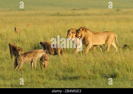 León Africano, Panthera leo, macho y Spotted Hyena, Crocuta crocuta, en Savannah, Reserva Nacional de Masai Mara, Kenya, Africa.