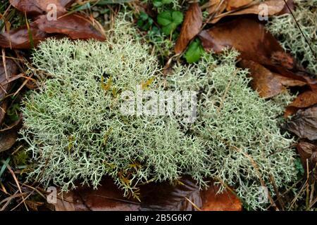 Liquen es un organismo compuesto que surge de las algas o las cianobacterias viven entre filamentos de varios hongos en una relación mutualistic.