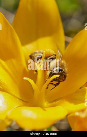 Miel de abejas recogiendo polen.
