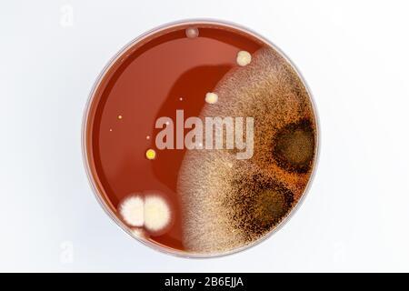 Placa Petri con mezcla de colonias de bacterias