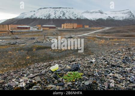 Svalbard amapola (Papaver dahlianum) en flor en la tundra ártica en Svalbard / Spitsbergen, Noruega