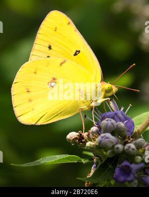 Primer plano de una delicada mariposa amarilla brillante llamada azufre sin nubes, sobre un grupo de flores púrpura.
