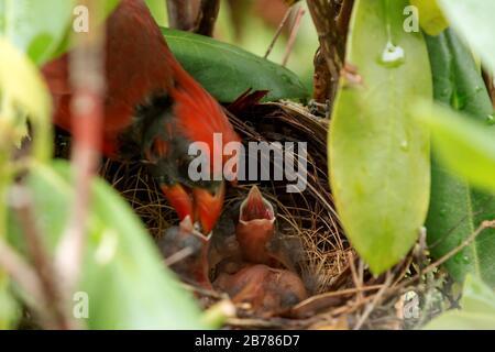 Las aves Cardenales son alimentadas por su padre en el nido, cuatro a cinco horas después de que eclosionaran. Foto de stock