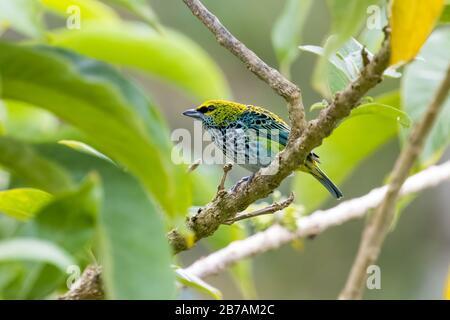 Un tanager moteado (Tangara guttata) se encuentra en una rama de las montañas Talamanca de Costa Rica.