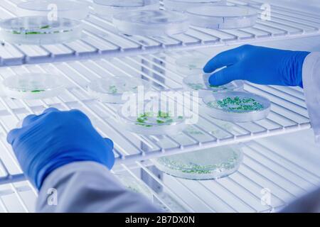 Cultivos de manipulación científica en placas de Petri en refrigeradores de laboratorio de biociencia. Concepto de ciencia, laboratorio y estudio de enfermedades.