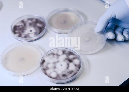 Manipulación científica cultivos microbiológicos en una placa de Petri para la investigación de biociencias farmacéuticas. Concepto de ciencia, laboratorio y estudio de la disea
