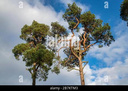 Pinus sylvestris. Pinos escoceses a lo largo del valle de tweed en el campo de la frontera escocesa. Escocia