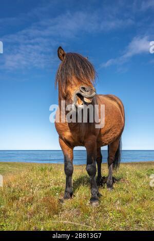 Divertidos ponis de islandia con un elegante peinado pastando en un pasto en el norte de Islandia