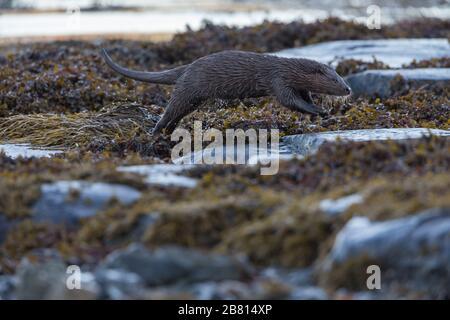 Una nutria euroasiática (lutra lutra) en tierra seca junto a un lago marino, en la Isla de Mull, Escocia.