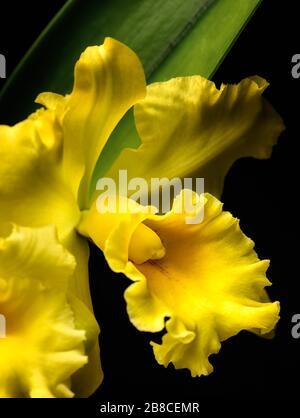 Primer plano de la delicada flor de iris de oso amarillo con una hoja verde en el fondo.
