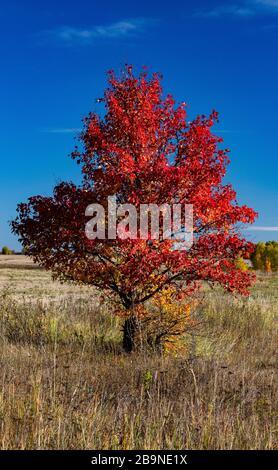 árbol con hojas rojas en otoño contra un cielo azul, paisaje en un campo en otoño. Foto de stock