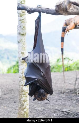 Murciélago colgando de la rama del árbol, murciélago de Indonesia - también conocido como gran zorro volador