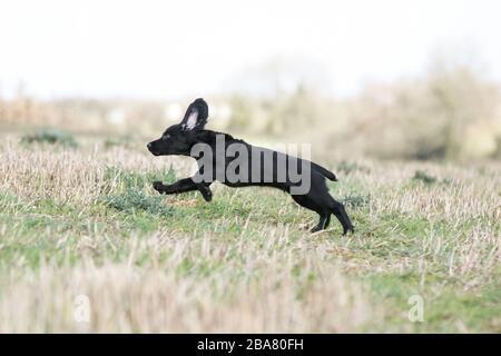 Negro trabajador cachorro spaniel