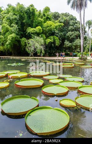 Grandes hojas verdes de lirios Victoria (Victoria amazonica), estanque Lago Frei Leandro, Jardín Botánico (Jardim Botanico), Zona Sur, Río de Janeiro