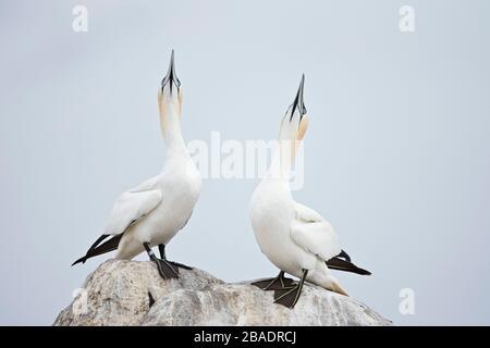 Gannet del Norte (Morus bassanus), Gran Isla Saltee, República de Irlanda Foto de stock