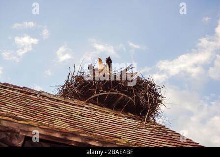 Stork en un techo preparando su nido con ramas en el pico