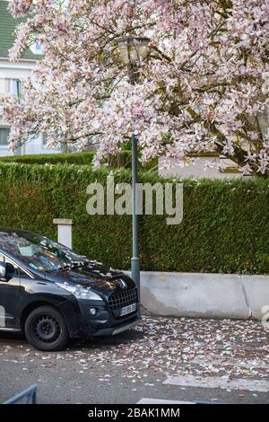 Estrasburgo, Francia - 18 de marzo de 2020: Hermoso Magnolia árbol en flor con múltiples pétalos caen sobre el cruce peatonal y PeuGeo coche francés