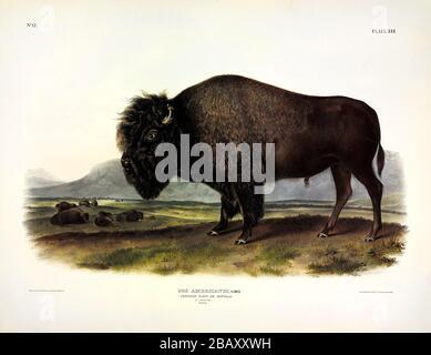 Placa 56 Bison americano, o Buffalo, macho (Bos Americanus) de los cuadrúpedos vívides de Norteamérica, John James Audubon, imagen de alta resolución