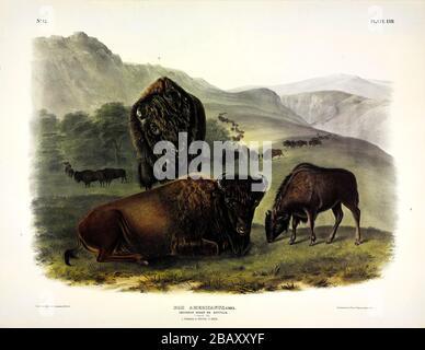 Placa 57 Bison Americana, femenina y joven, de los cuadrúpedos vívides de América del Norte, John James Audubon, imagen de muy alta resolución y calidad