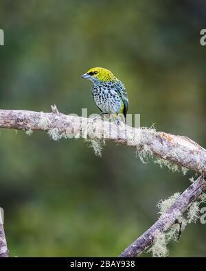 Un tanager moteado (Tangara guttata) encaramado en una rama en el bosque nublado de Costa Rica.